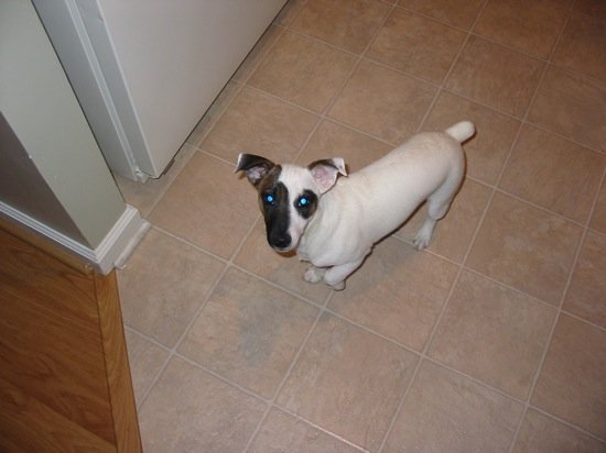 Jack Russell Terrier Max