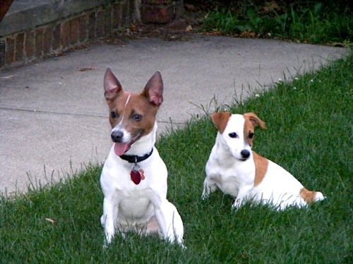 Jack Russell Terrier Monster and Chaos