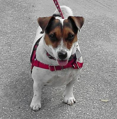 Fran the Jack Russell Terrier