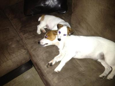 Jack Russll Brothers