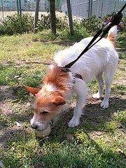 housebreaking jack russell terriers