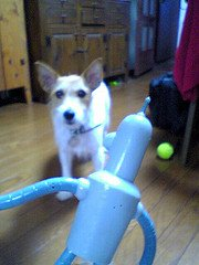 Jack Russell Terrier Obedience