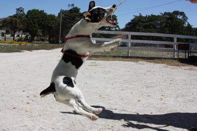 The jumping Jack Russell