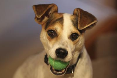 Sawyer the Jack Russell Terrier