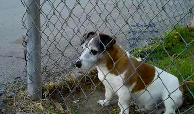 Ziggy Short Legged Jack Russell Terrier